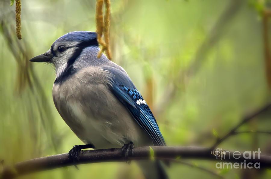 Bird Photograph - Blue Jay On A Misty Spring Day by Lois Bryan