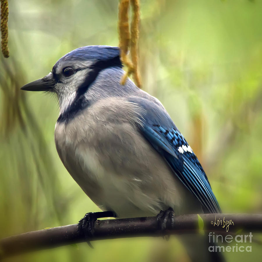 Bird Photograph - Blue Jay On A Misty Spring Day - Square Format by Lois Bryan