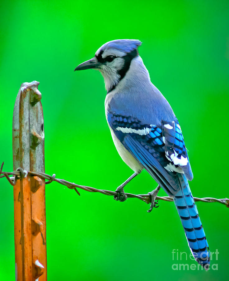 Animal Photograph - Blue Jay On The Fence by Robert Frederick