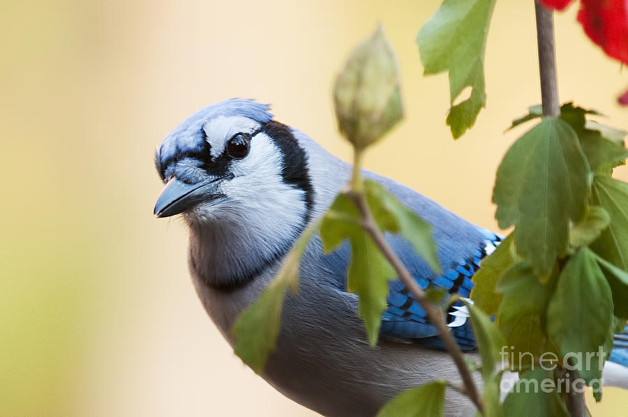 Blue Jay Peeking From Leaves by Jean A Chang