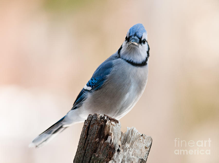 Blue Jay Sitting on Stump by Jean A Chang
