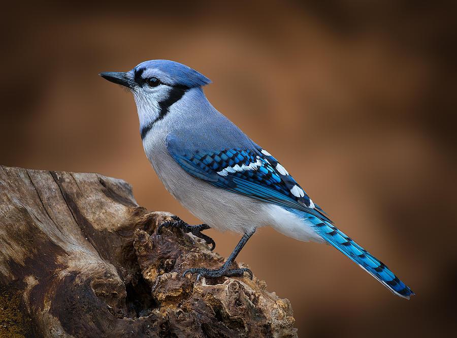 Blue Photograph - Blue Jay by Steve Zimic