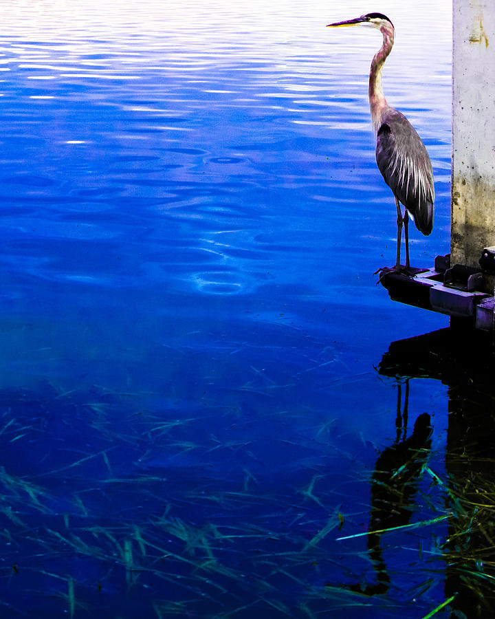 Great Blue Heron Photograph - Blue Ledge by Christy Usilton