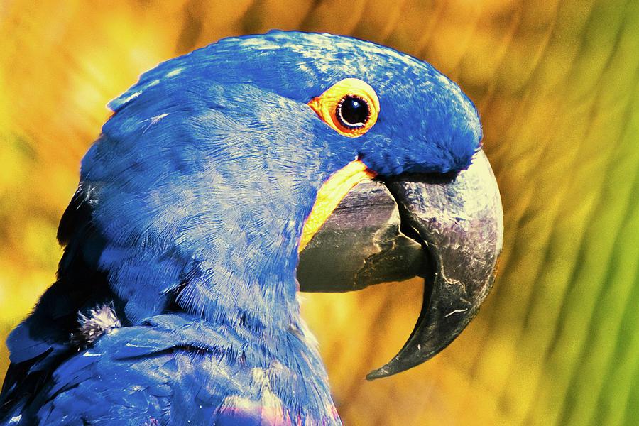 Blue Macaw Photograph by Daniel B Begiato