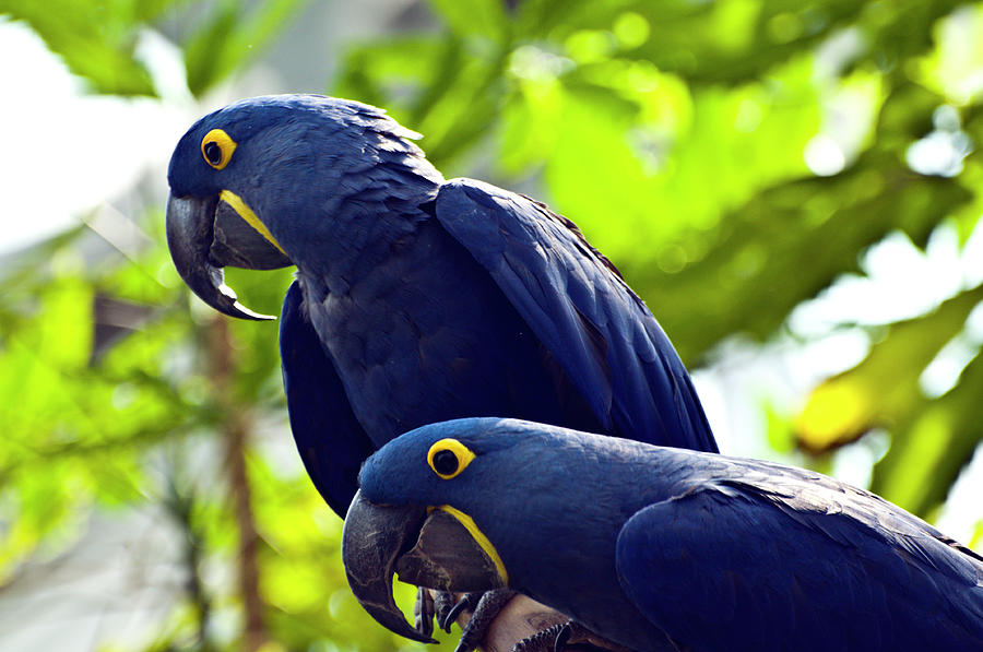 Blue Macaws Photograph by Ray Sandusky / Brentwood, Tn