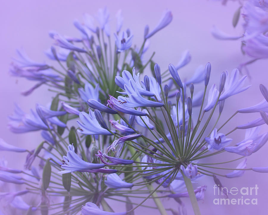 Agapanthus Photograph - Blue Mist by Judi Bagwell