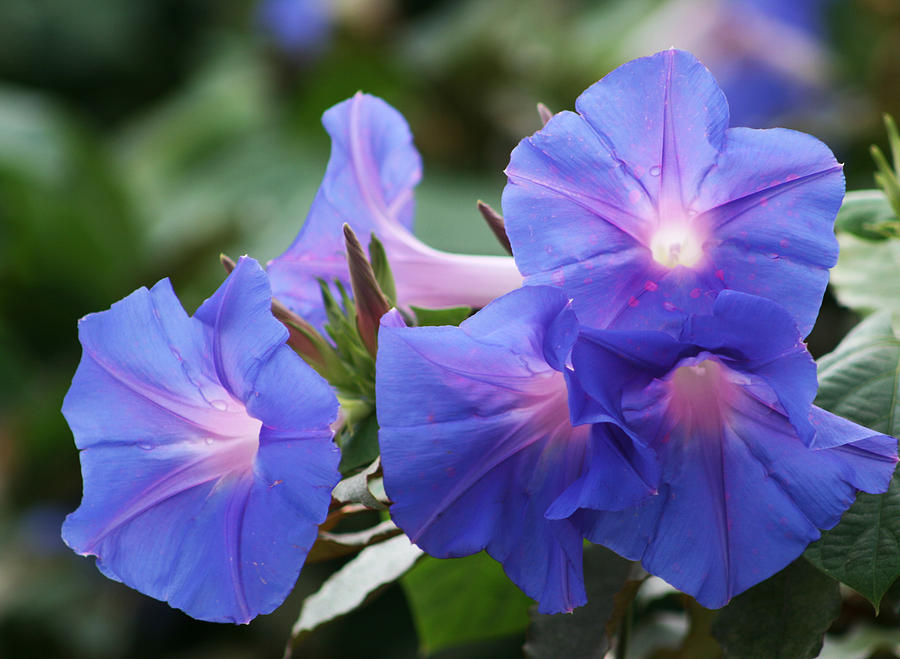 Convolvulaceae Photograph - Blue Morning Glory Wildflowers - Convolvulaceae by Kathy Clark