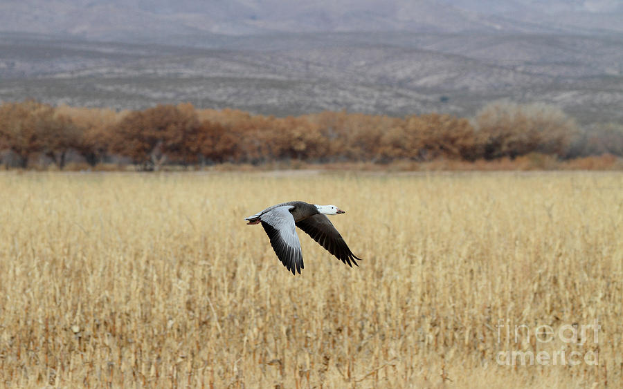 Goose Photograph - Blue Morph In Flight by Ruth Jolly
