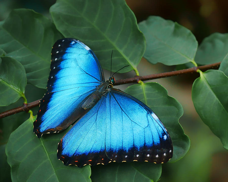 Butterfly Photograph - Blue Morpho - 2 by Nikolyn McDonald