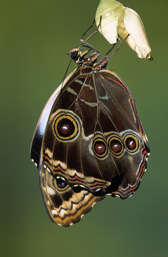 Blue Morpho Butterfly Emerging Photograph by Ingo Arndt