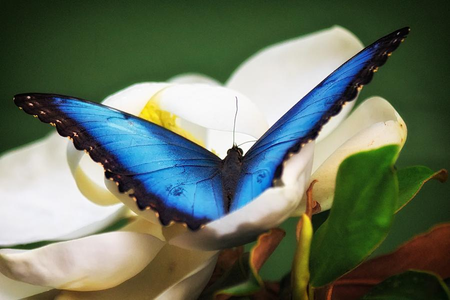 Blue Morpho in Flower by Joseph Urbaszewski