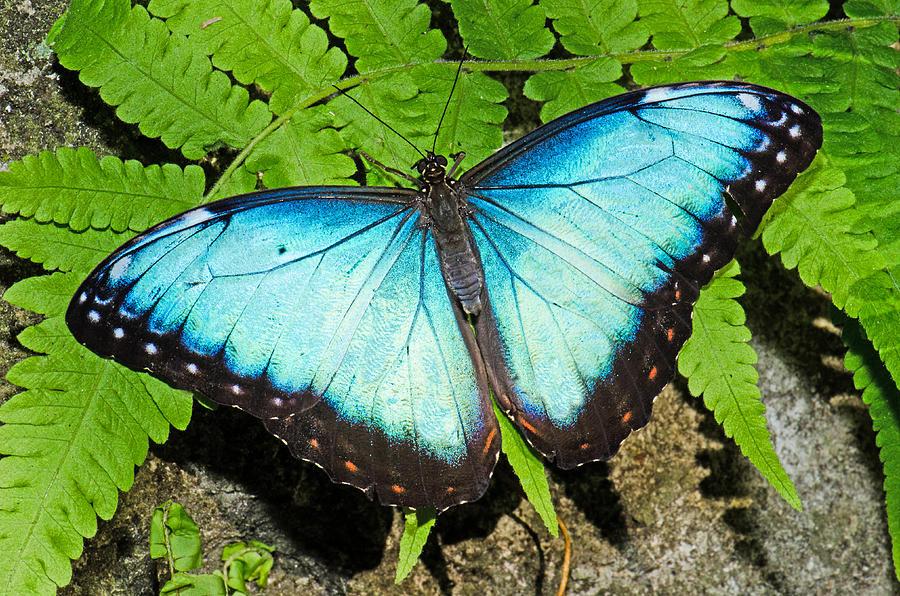 Bộ sưu tập cánh vẩy 6 - Page 5 Blue-morpho-morpho-amathonte-millard-h-sharp
