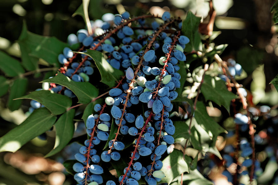 Blue Olives Photograph By Scott Hill