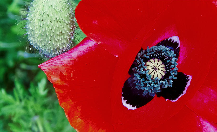 Poppy Photograph - Blue Opium by Gregory Whiting