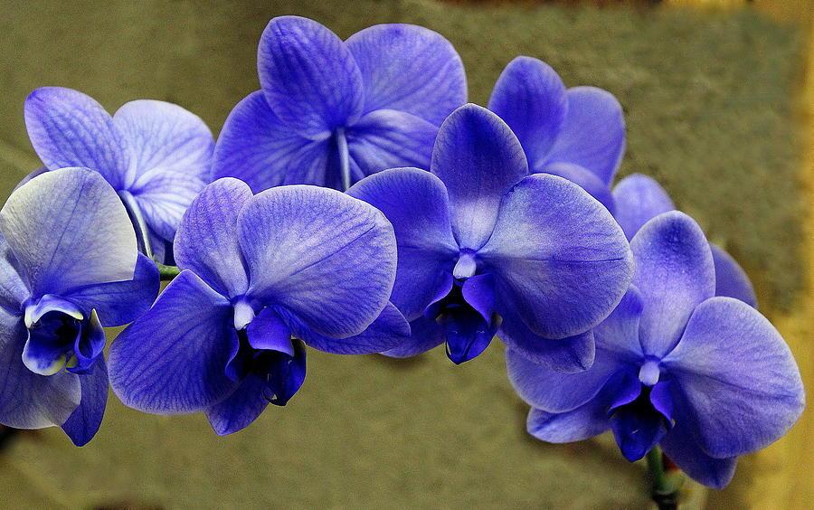 Blue Orchids Photograph By Rosanne Jordan