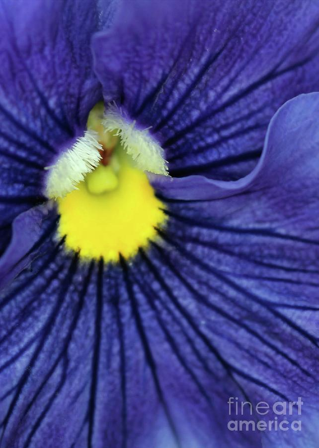 Blue Photograph - Blue Pansy by Sabrina L Ryan