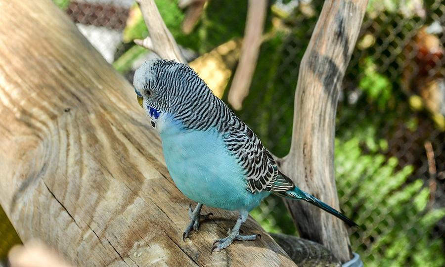Parakeet Photograph - Blue Parakeet by Renee Barnes