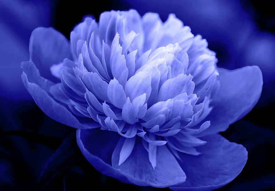 Flowers Photograph - Blue Peony by Sandy Keeton