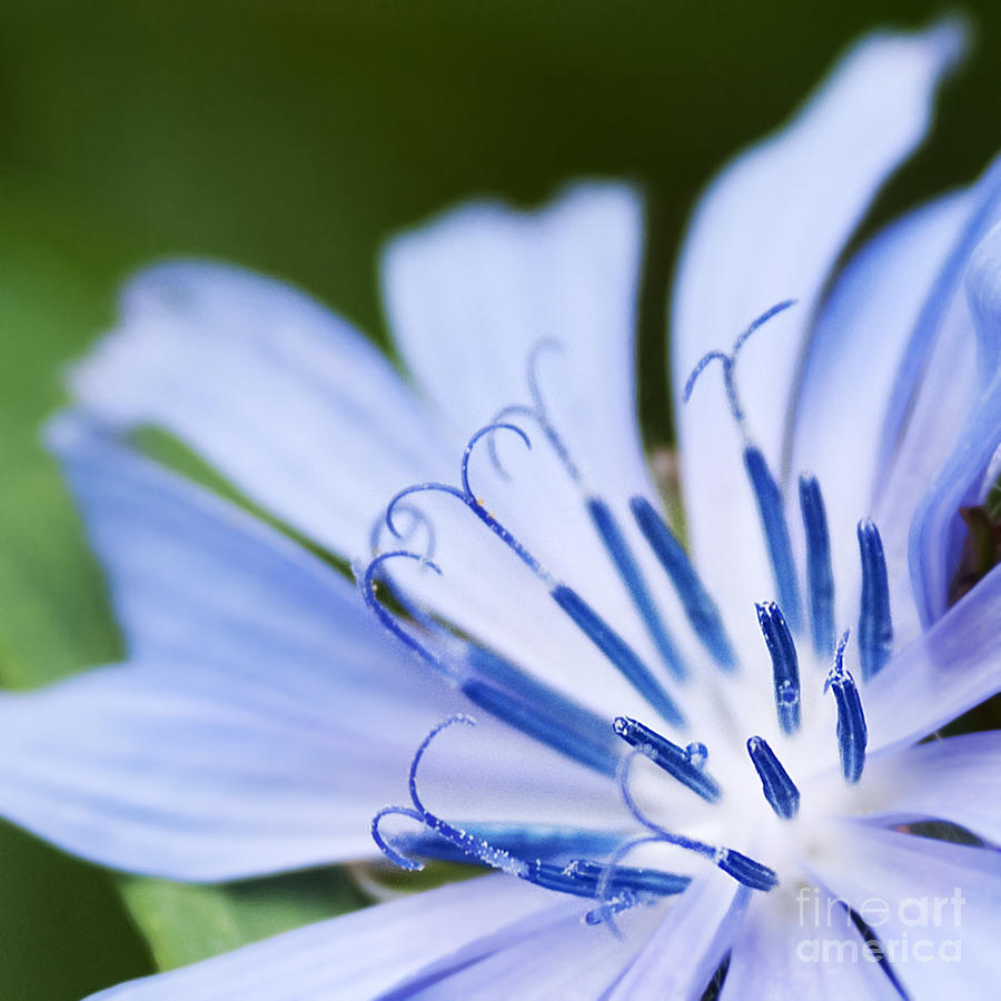 Flower Photograph - Blue Poetry.. by Nina Stavlund
