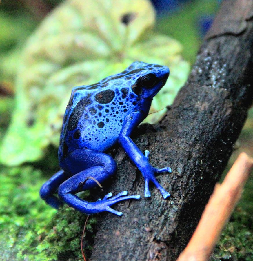 Blue Poison Dart Frog Photograph by Greg Thiemeyer