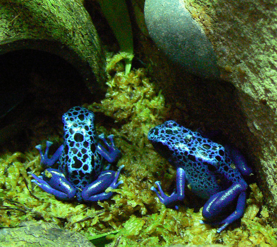 Blue Poison Dart Frogs Photograph by Margaret Saheed