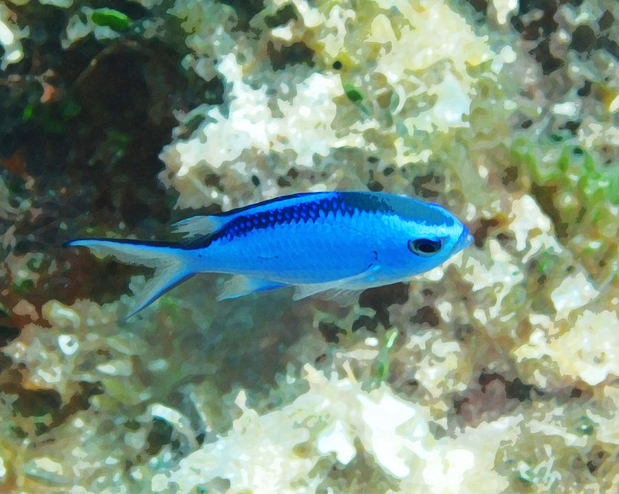 Blue reef fish photograph by seven seas for Blue saltwater fish