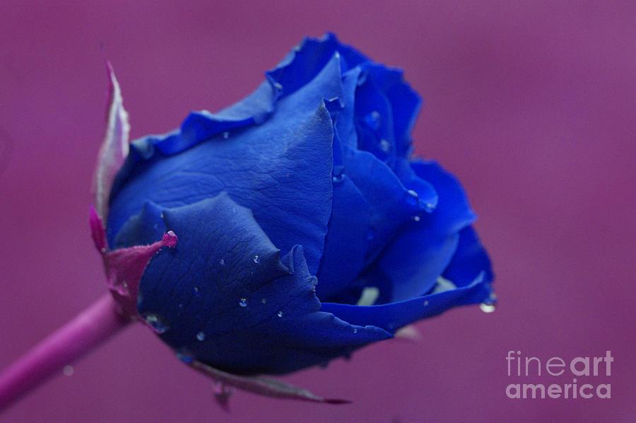 Blue Digital Art - Blue Rose by Carol Lynch
