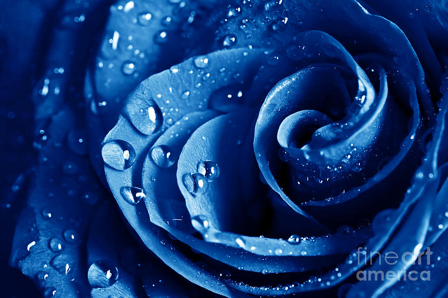 Blue Roses Photograph - Blue Roses by Boon Mee