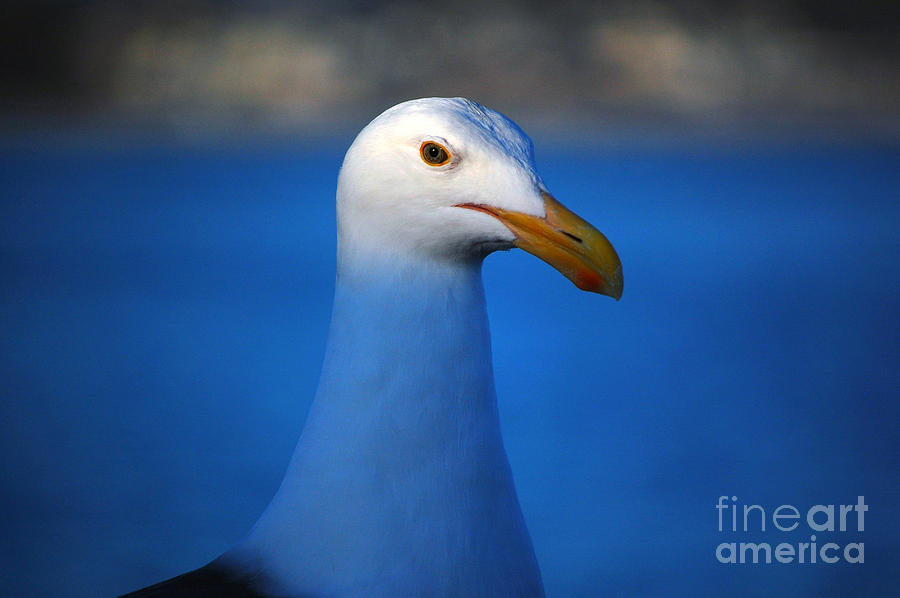 Santa Cruz Photograph - Blue Seagull by Debra Thompson
