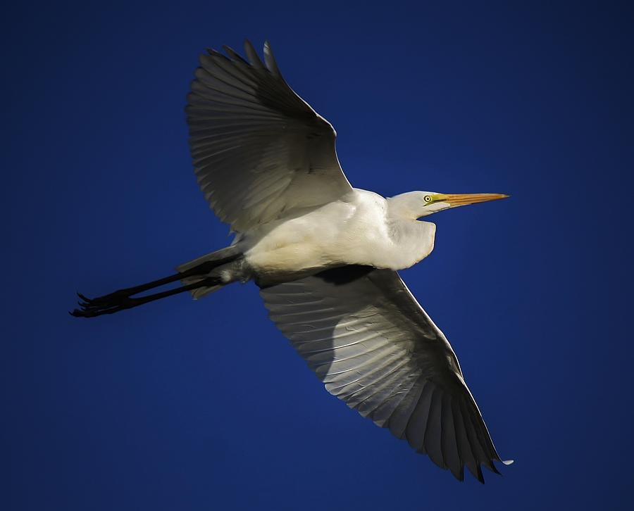 Great White Egret Photograph - Blue Skies by Paulette Thomas
