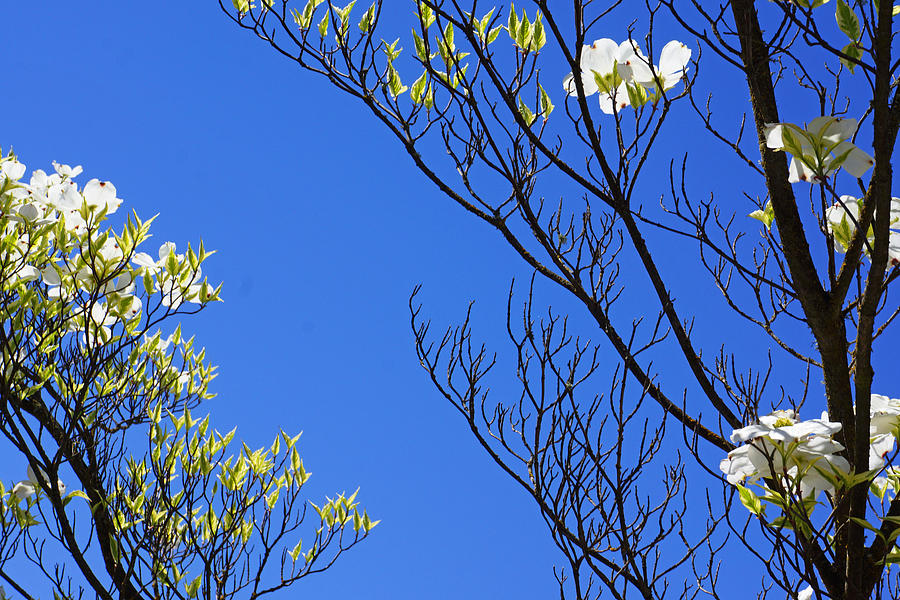 Blue Sky Art Prints Spring Dogwood Flowers Branches Photograph