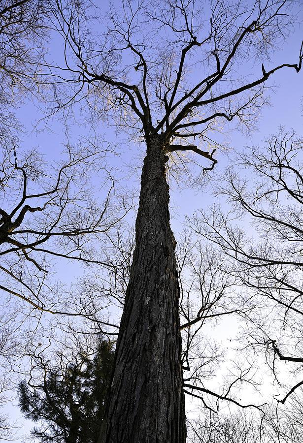 Blue sky Oak by Pristine Images