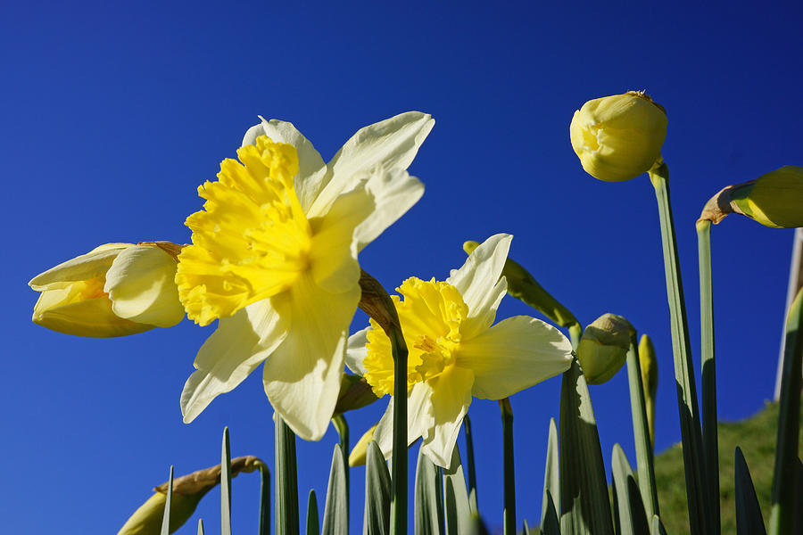 Blue Sky Spring Bright Daffodils Flowers Photograph By