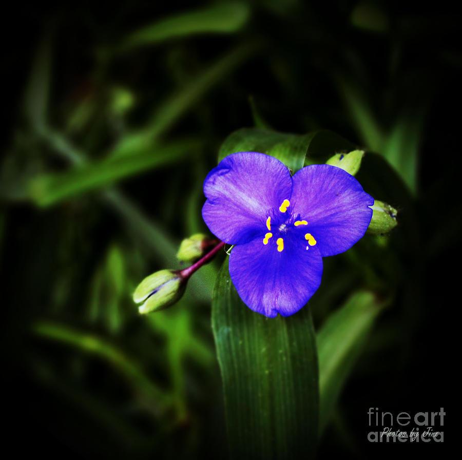 Blue Spiderwort  Photograph by Jinx Farmer