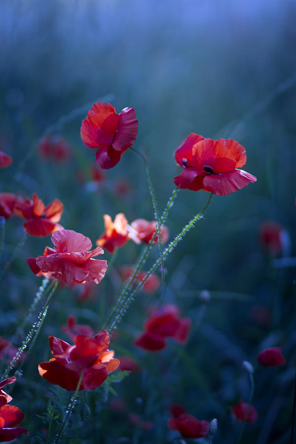 Poppies Photograph - Blue Summer IIi by Magda  Bognar