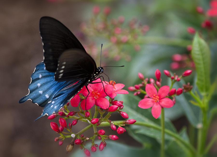 Blue Swallowtail Photograph - Blue Swallowtail Butterfly  by Saija  Lehtonen
