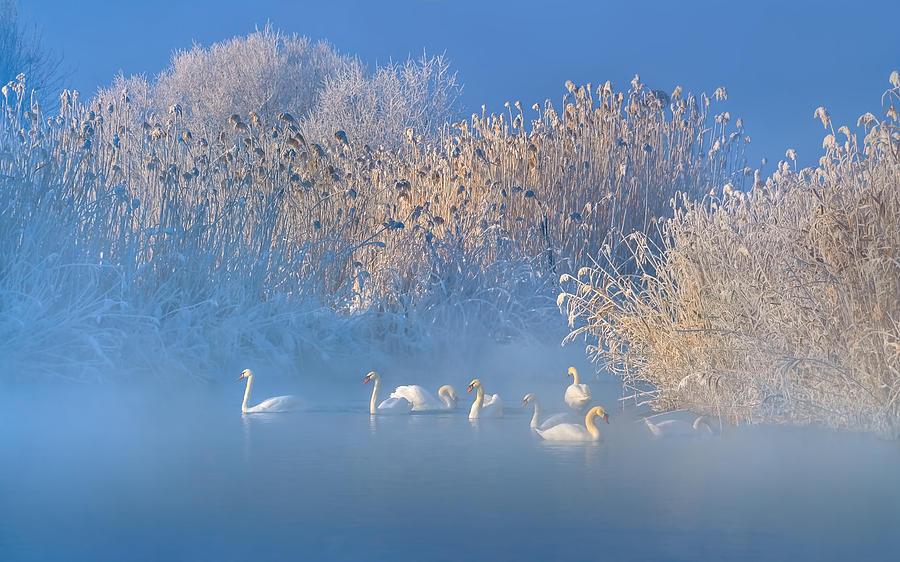 Blue Photograph - Blue Swan Lake by Hua Zhu