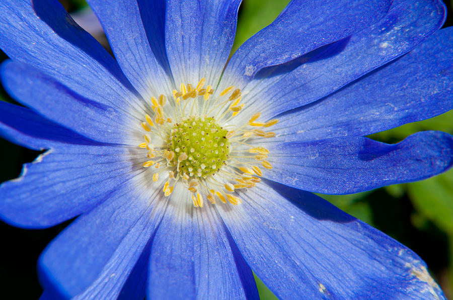 Anemone Photograph - Blue Swan River Daisy by Tikvahs Hope