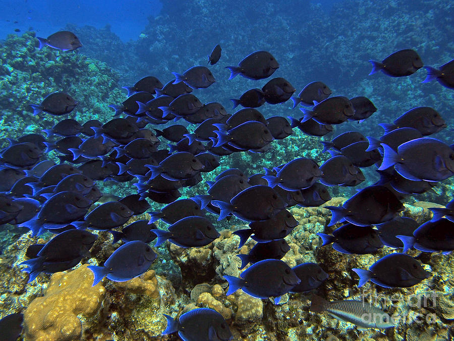 Reef Photograph - Blue Tangs by Carey Chen
