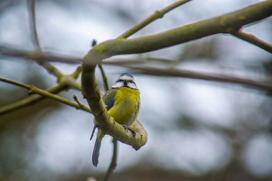 Blue Tit Photograph - Blue Tit by Andrew Lalchan