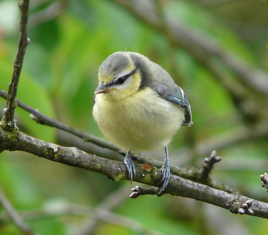 Bird Photograph - Blue Tit In A Cherry Tree by Valerie Ornstein