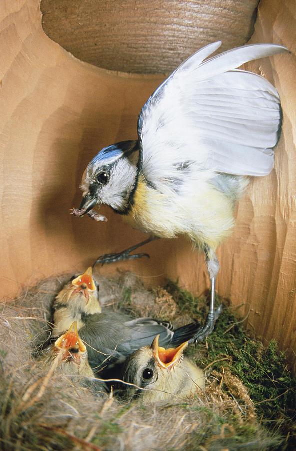 Blue Tit Parus Caeruleus Parent Photograph by Konrad Wothe