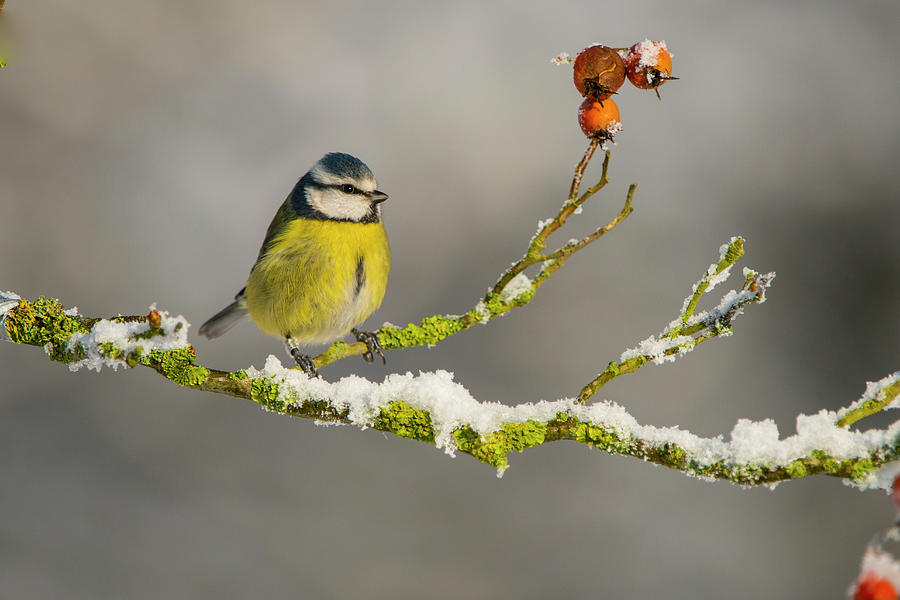 Blue Tit Perched On Snowy Branch With Photograph by Mike Powles