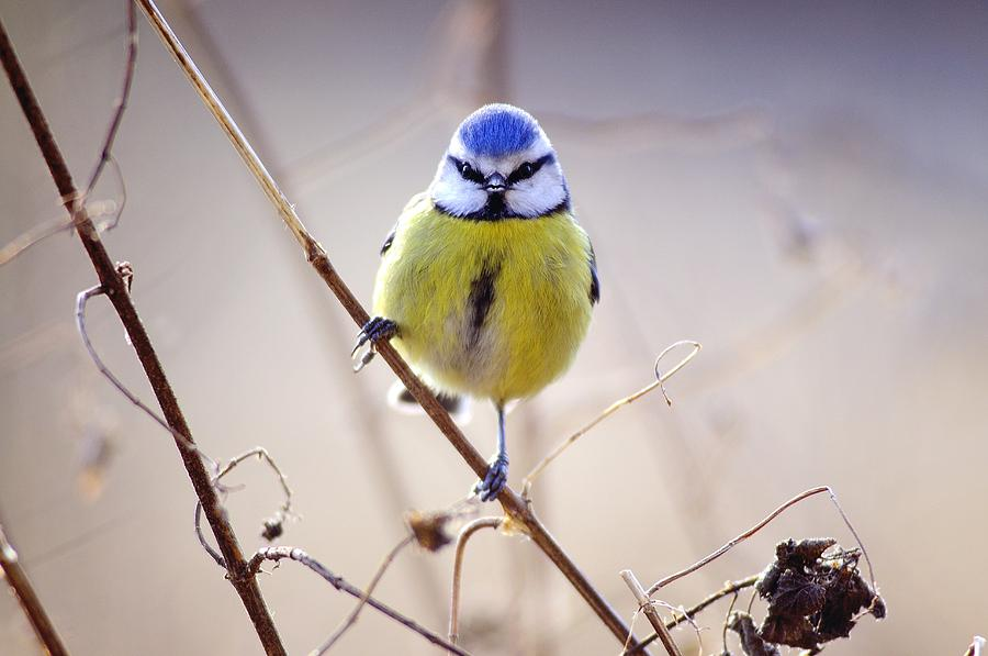 Blue Tit Photograph - Blue Tit by Science Photo Library