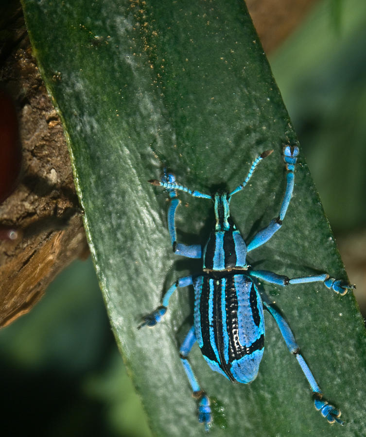 Blue Photograph - Blue Tropical Weevil by Douglas Barnett