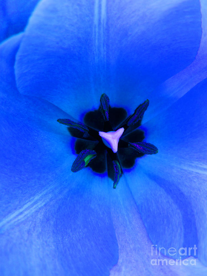 Flower Photograph - Blue Tulip by Tina M Wenger