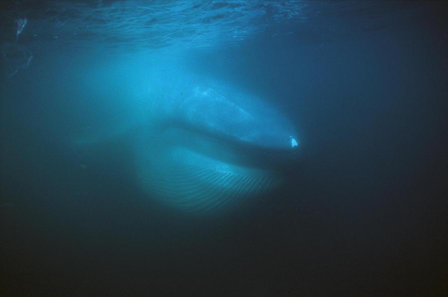 Blue Whale Filter Feeding Sea Of Cortez Photograph by Hiroya Minakuchi