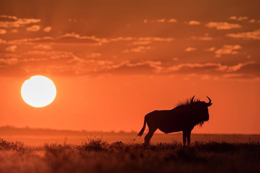 Africa Photograph - Blue Wildebeest At Dusk by Tony Camacho/science Photo Library