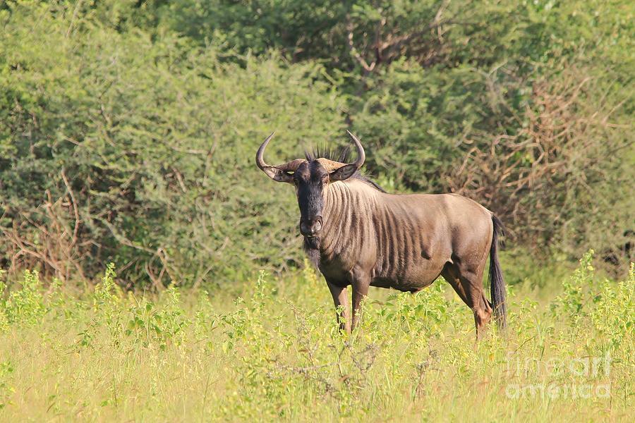 Blue Wildebeest Bull Photograph