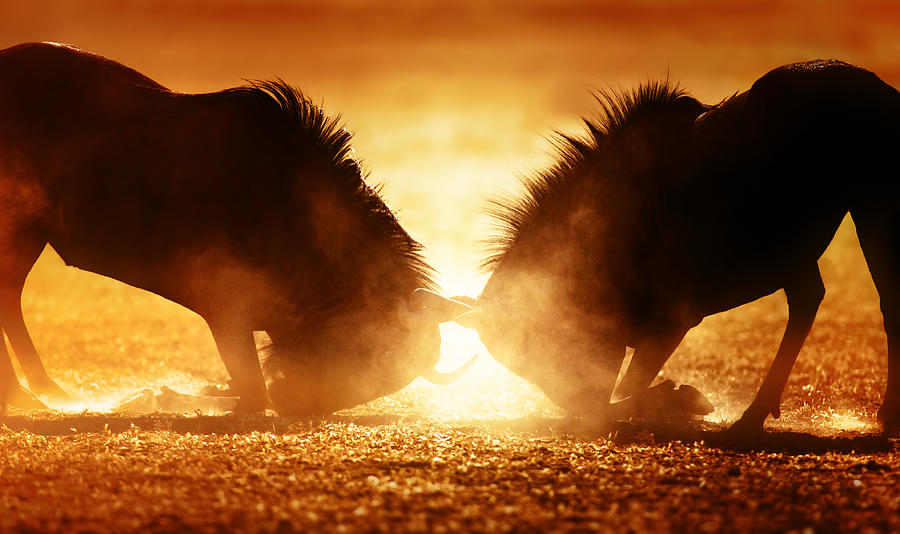 Blue Wildebeest Dual In Dust Photograph